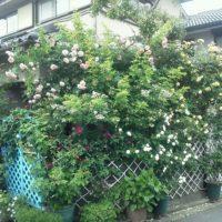 綺麗なバラの写真