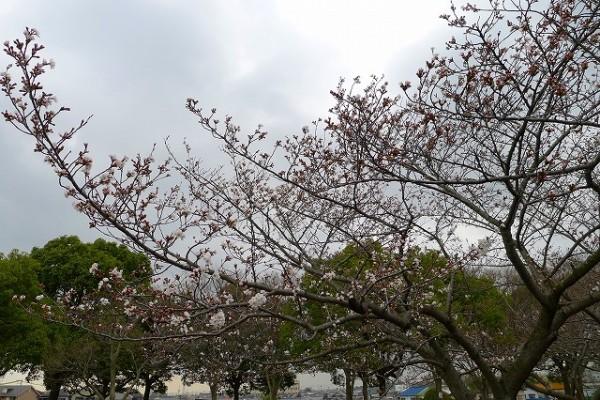 岸和田市の流木の桜