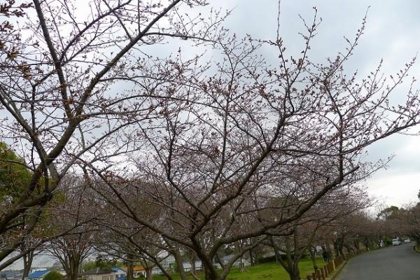 岸和田市の桜