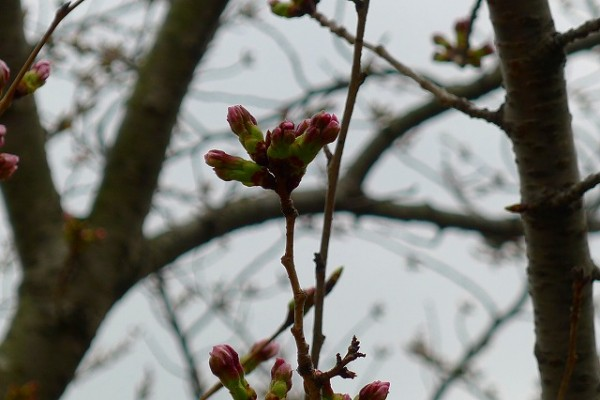 岸和田の桜