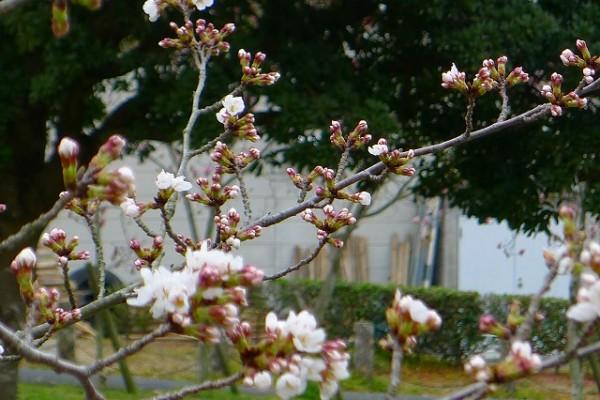 岸和田市の流木の桜のつぼみ