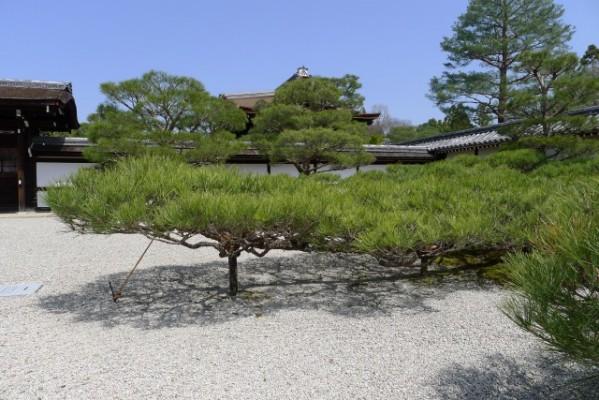 仁和寺 の松 2