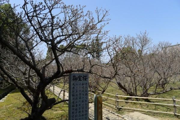 仁和寺 の御室桜
