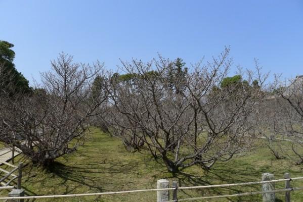 仁和寺 の御室桜 2