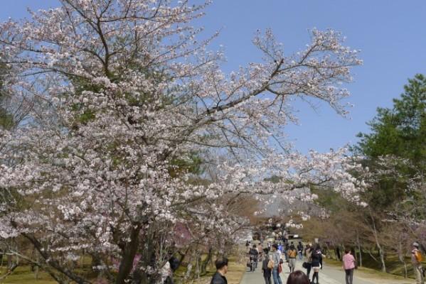 仁和寺 の そめい吉野桜