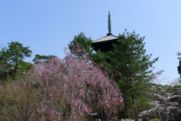 仁和寺 の 五重の塔としだれ桜