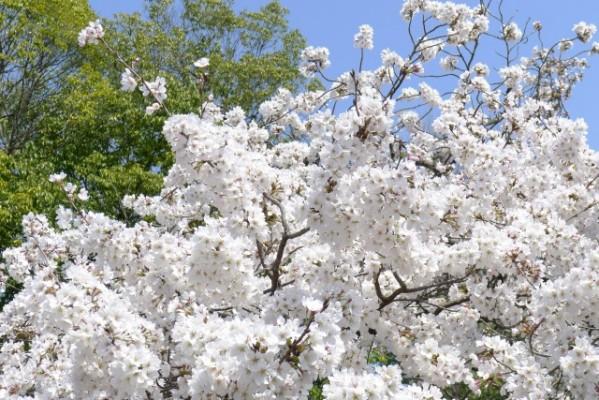 仁和寺 の 境内の桜