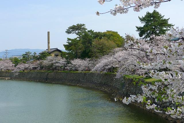 桜の名所 大阪 泉州 岸和田城のお堀の桜