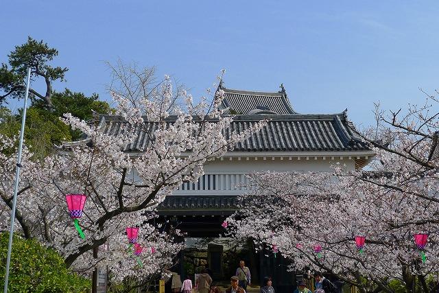 桜の名所 大阪 泉州 岸和田城の正面の桜