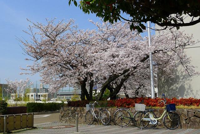 大阪府立 岸和田高校の桜
