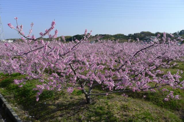 包近(かねちか)の桃の花も綺麗ですね。