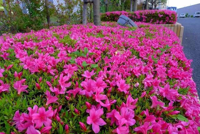 karimoku 関西ショウルームの花壇のさつき