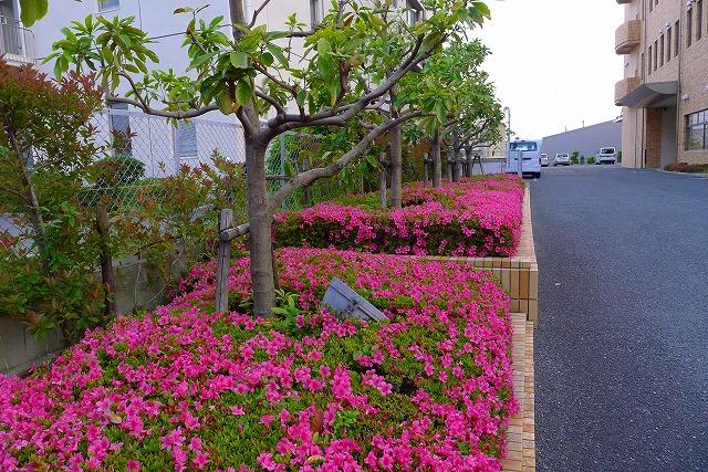 karimoku 関西ショウルームの花壇のさつき 2