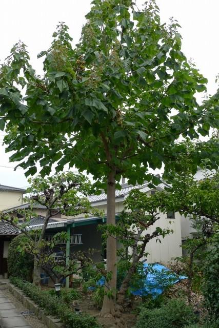 桐の木全体写真