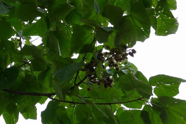 桐の木の葉
