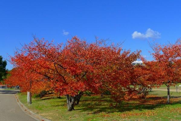 岸和田中央公園の桜の紅葉