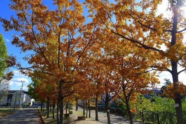 岸和田中央公園のコナラの紅葉