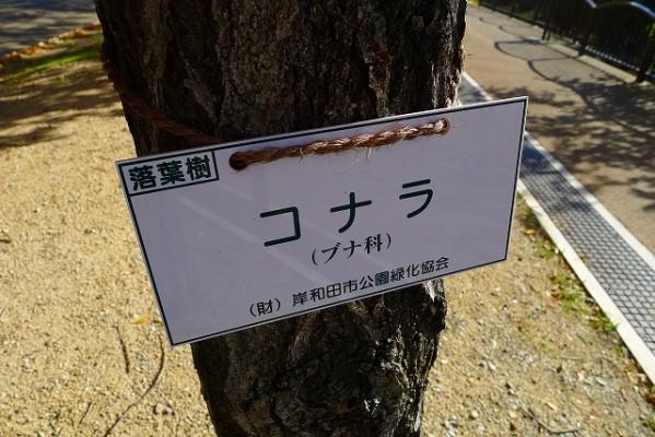 岸和田中央公園のコナラの紹介