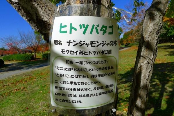 岸和田中央公園のヒトツバタゴの紹介