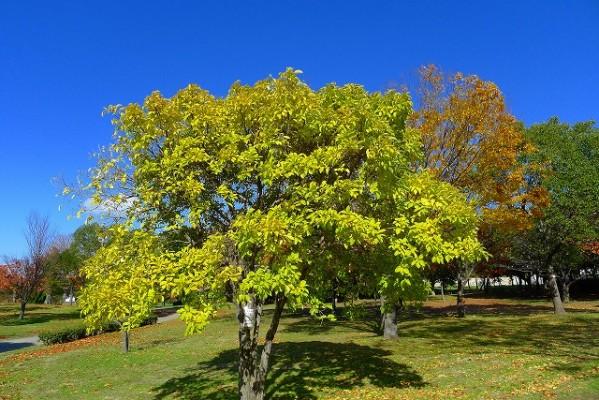 岸和田中央公園のヒトツバタゴの紅葉