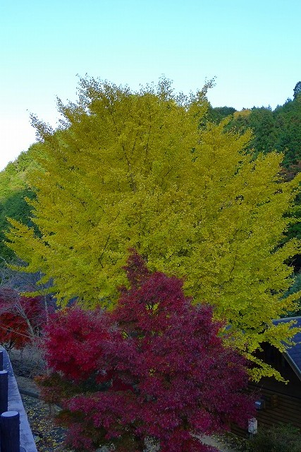 銀杏と楓の紅葉