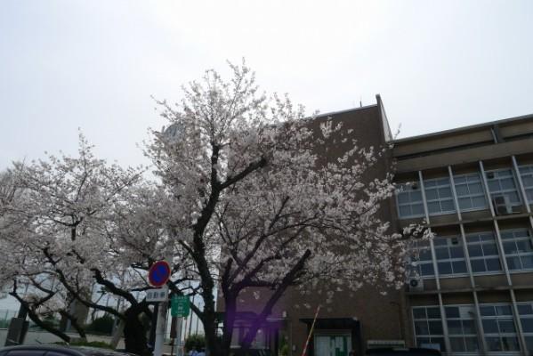 岸和田市役所の桜