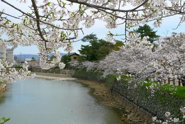 岸和田城の桜 5