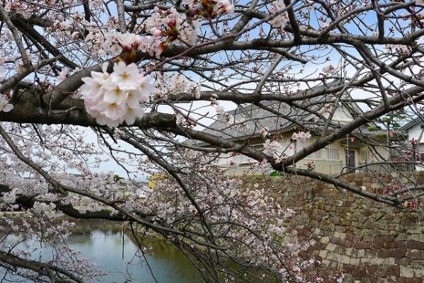岸和田城の桜 6