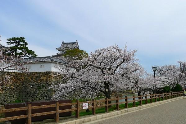 岸和田城の桜 10