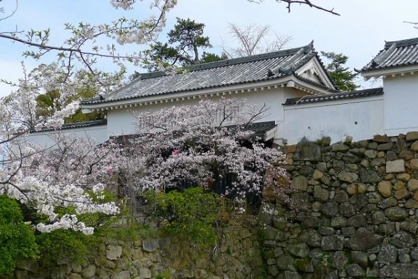 岸和田城の桜 9