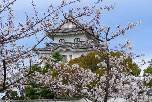 岸和田城の桜 3
