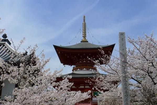 高野山真言宗 久米田寺の桜