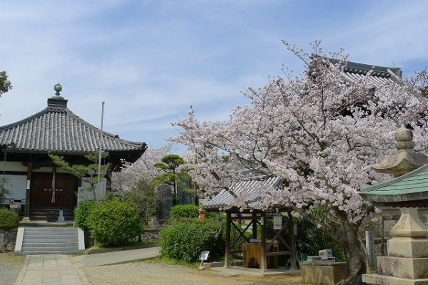 高野山真言宗 久米田寺の桜 2