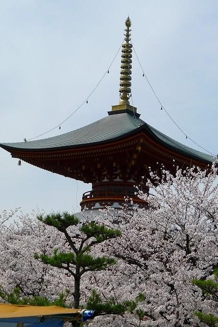 高野山真言宗 久米田寺の多宝塔と桜