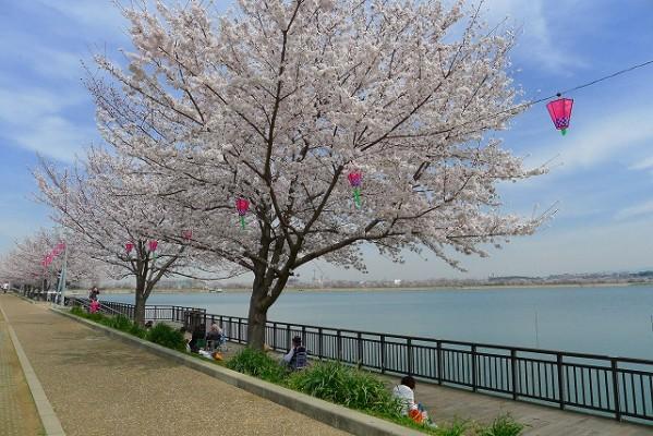 久米田池と桜