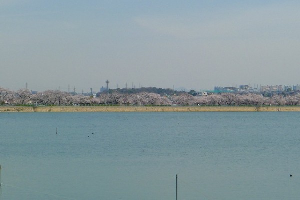 久米田池と対岸の桜