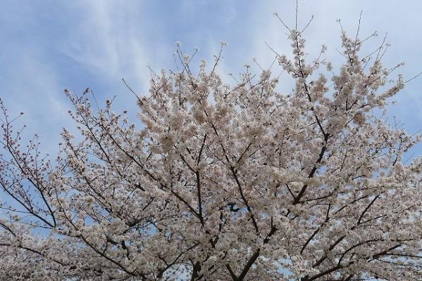 久米田池の桜の花