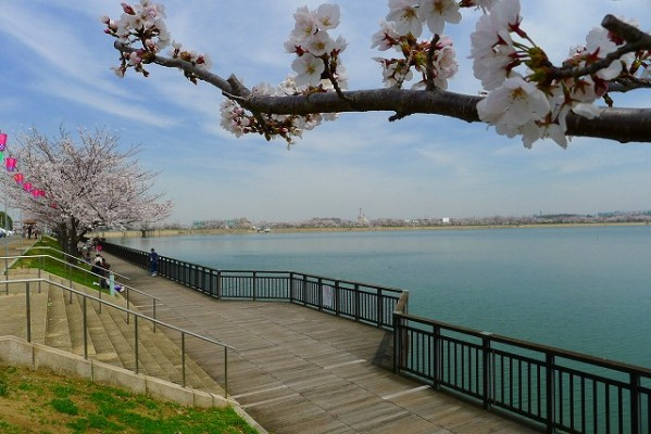 久米田池の桜と遊歩道 2