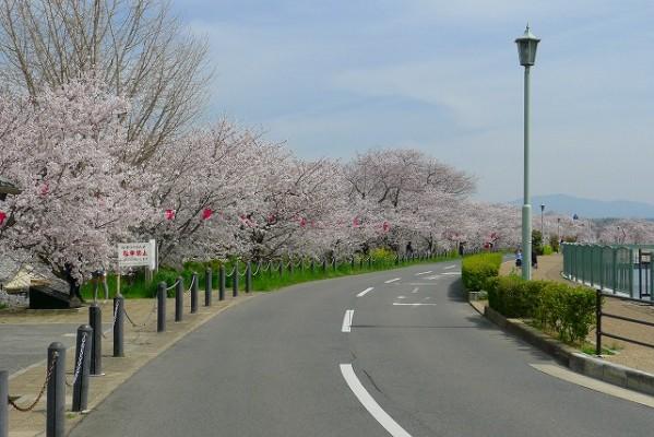 久米田池の桜と遊歩道