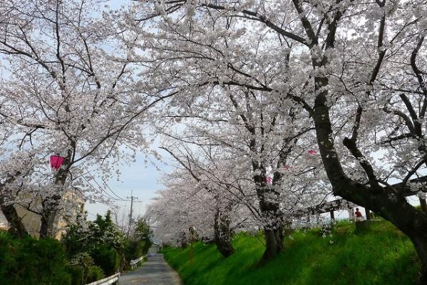 久米田池の桜の回廊