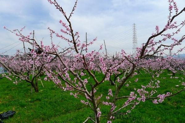 包近の桃の木