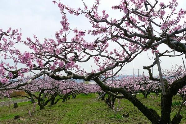 包近の桃の花