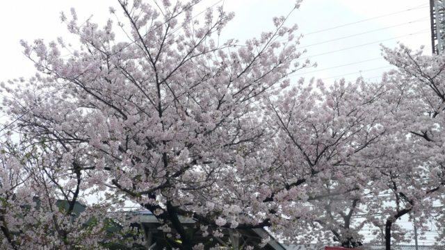 南海電車 春木駅の桜