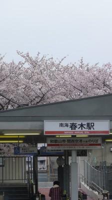 南海電車 春木駅の桜 2