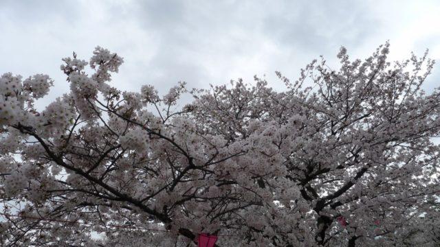 2015年 岸和田城の桜