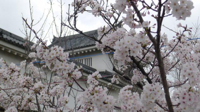 2015年 岸和田城の桜 4