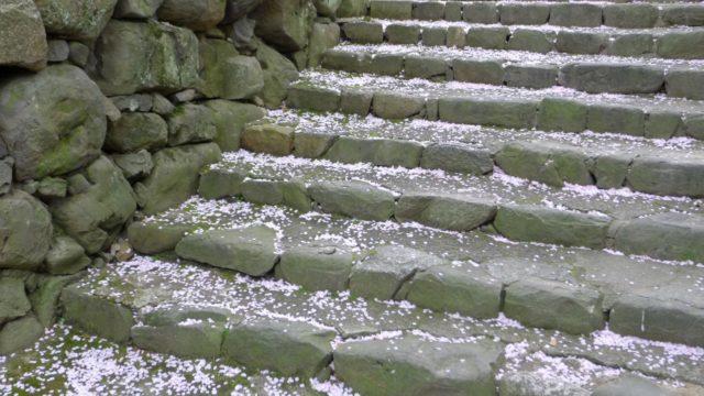 2015年 岸和田城の桜 5