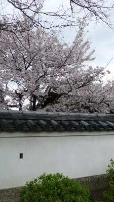 2015年 岸和田城の桜 8