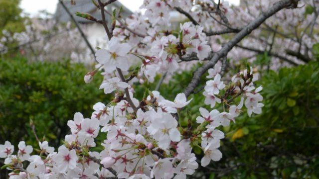 2015年 岸和田城の桜 9