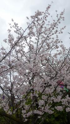 2015年 岸和田城の桜 10